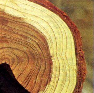 Свежесрубленная древесина